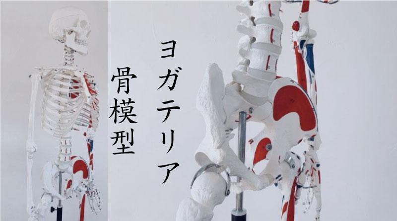 ヨガテリア骨模型