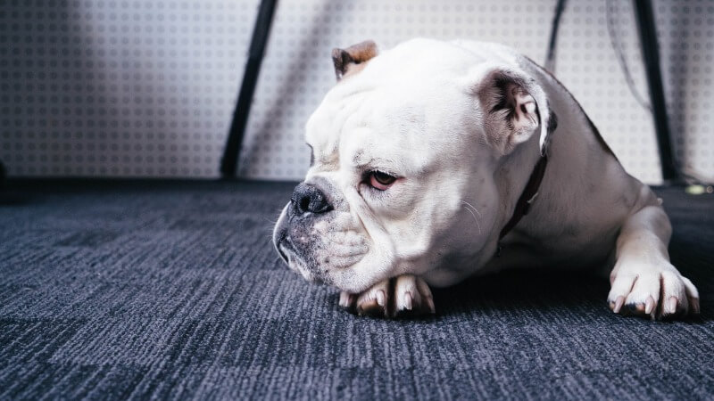 しかめっ面に見える犬